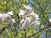 Sakura_apu_2