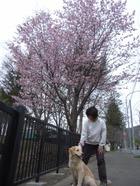 Sakura_coulee